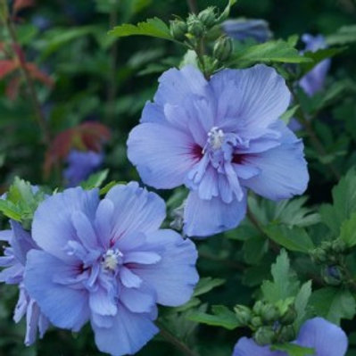 Blue Chiffon® Rose of Sharon/Hibiscus syriacus