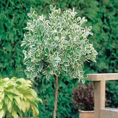 Emerald Gaiety Euonymus/Euonymus fortunei