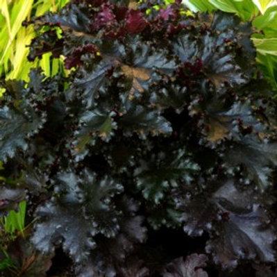 Black Taffeta Coral Bells- Heuchera