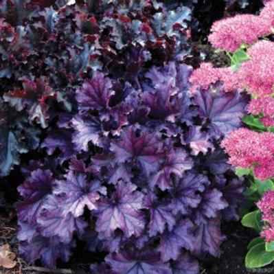 Purple Coral Bells -Heuchera Forever®