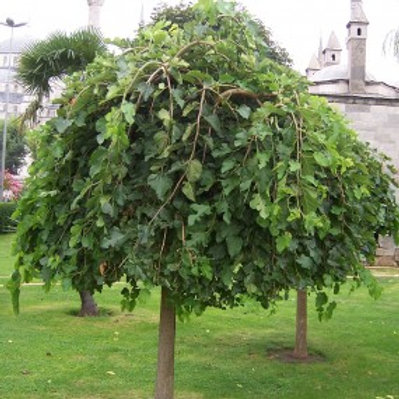 Weeping Mulberry – Non-Fruiting /Morus alba