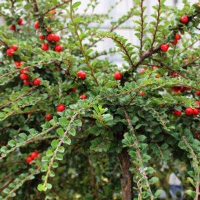 Cranberry Cotoneaster/Cotoneaster apiculatus