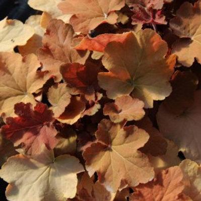Caramel Coral Bells - Heuchera villosa