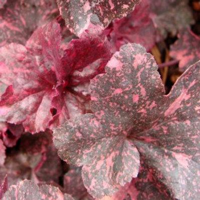 Midnight Rose Coral Bells-Heuchera