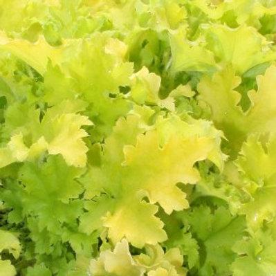 Winter Joy Coral Bells - Heuchera hybrid
