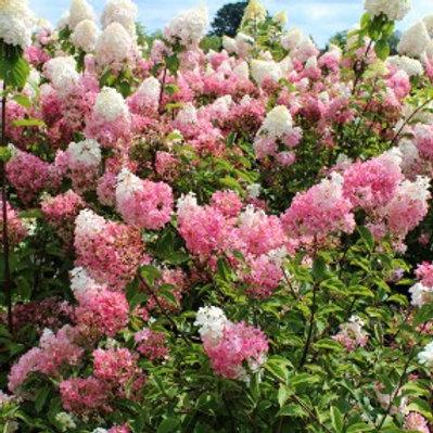 Vanilla Strawberry™ Hydrangea/Hydrangea paniculata