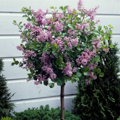 Dwarf Korean Lilac/Syringa meyeri