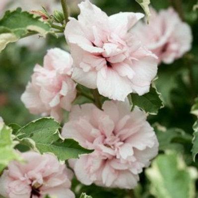 Sugar Tip® Rose of Sharon/Hibiscus syriacus