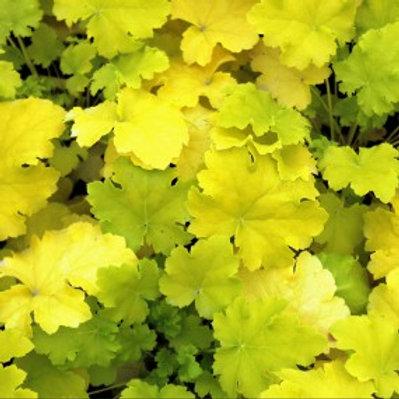 Lime Rickey Coral Bells - Heuchera hybrid
