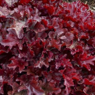 Cherry Truffles Coral Bells - Heuchera Dolce®