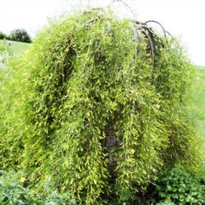 Cutleaf Weeping Caragana/ Caragana arborescens 'Walker'