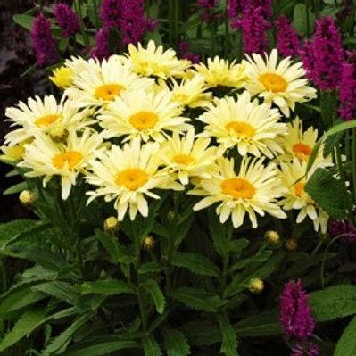 Real Charmer Shasta Daisy - Leucanthemum x superbum