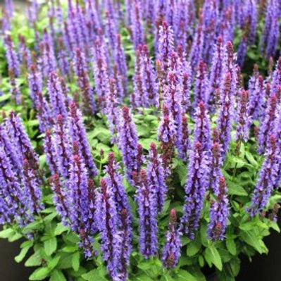 Sky Blue Sage - Salvia nemorosa