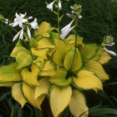 Stained Glass Plantain Lily - Hosta
