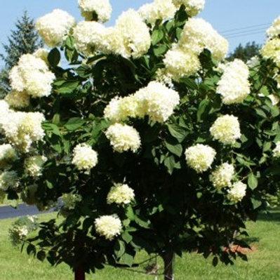 Limelight Tree Hydrangea/Hydrangea paniculata