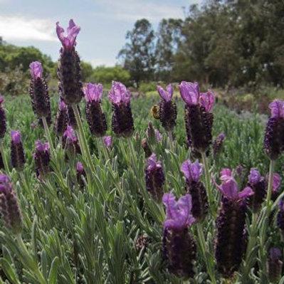 Double Anouk Spanish Lavender - Lavandula stoechas