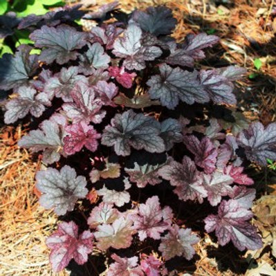 Plum Pudding Coral Bells - Heuchera americana