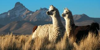 Alpaca_s_in_the_Alto_Plano_Peru_N21_eaa8