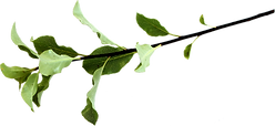 wickiwell-pittosporum-twig.png
