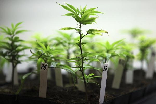 cloning-cannabis.jpg