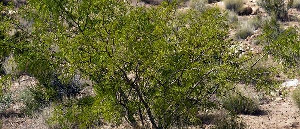 mesquite2.jpg