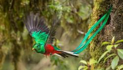 Quetzal-San-Gerardo-de-Dota-Costa-Rica-1