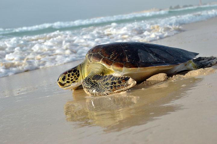 tartaruga-spiaggia-boavista