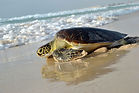 tartaruga-spiaggia-boavista.jpg