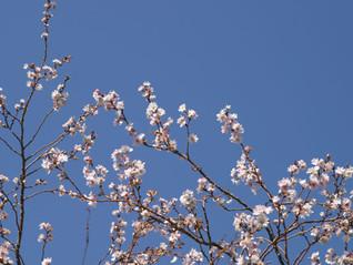 さくらの里 十月桜見頃です