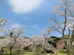 伊東市さくらの里2 桜20150406