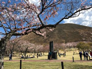 さくらの里は桜が満開です