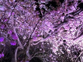 さくらの里 夜桜見学会