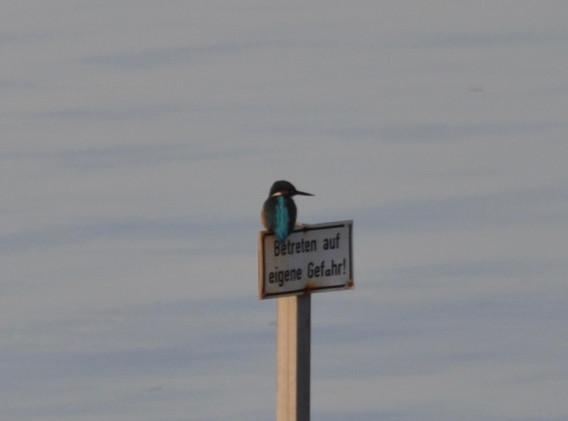 Eisvogel in der Bucht von Meierwik