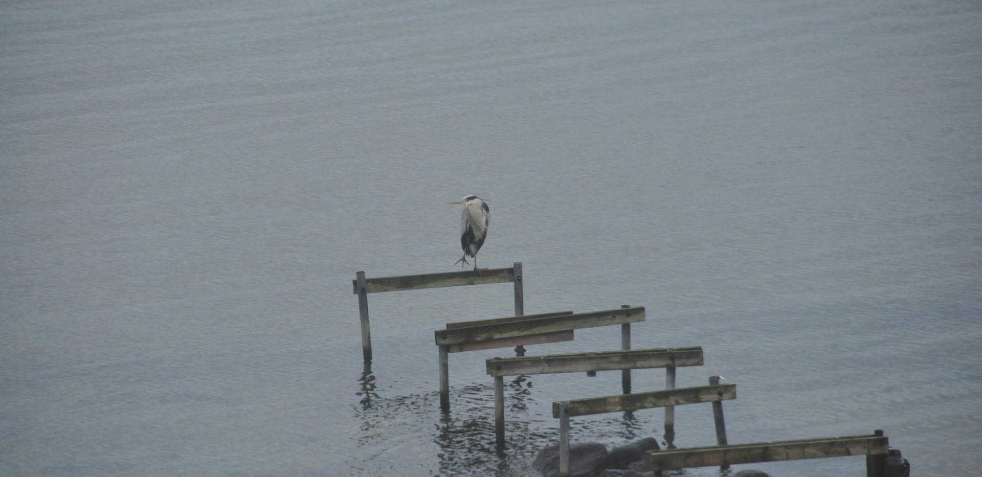 Der Graureiher in der Bucht von Meierwik