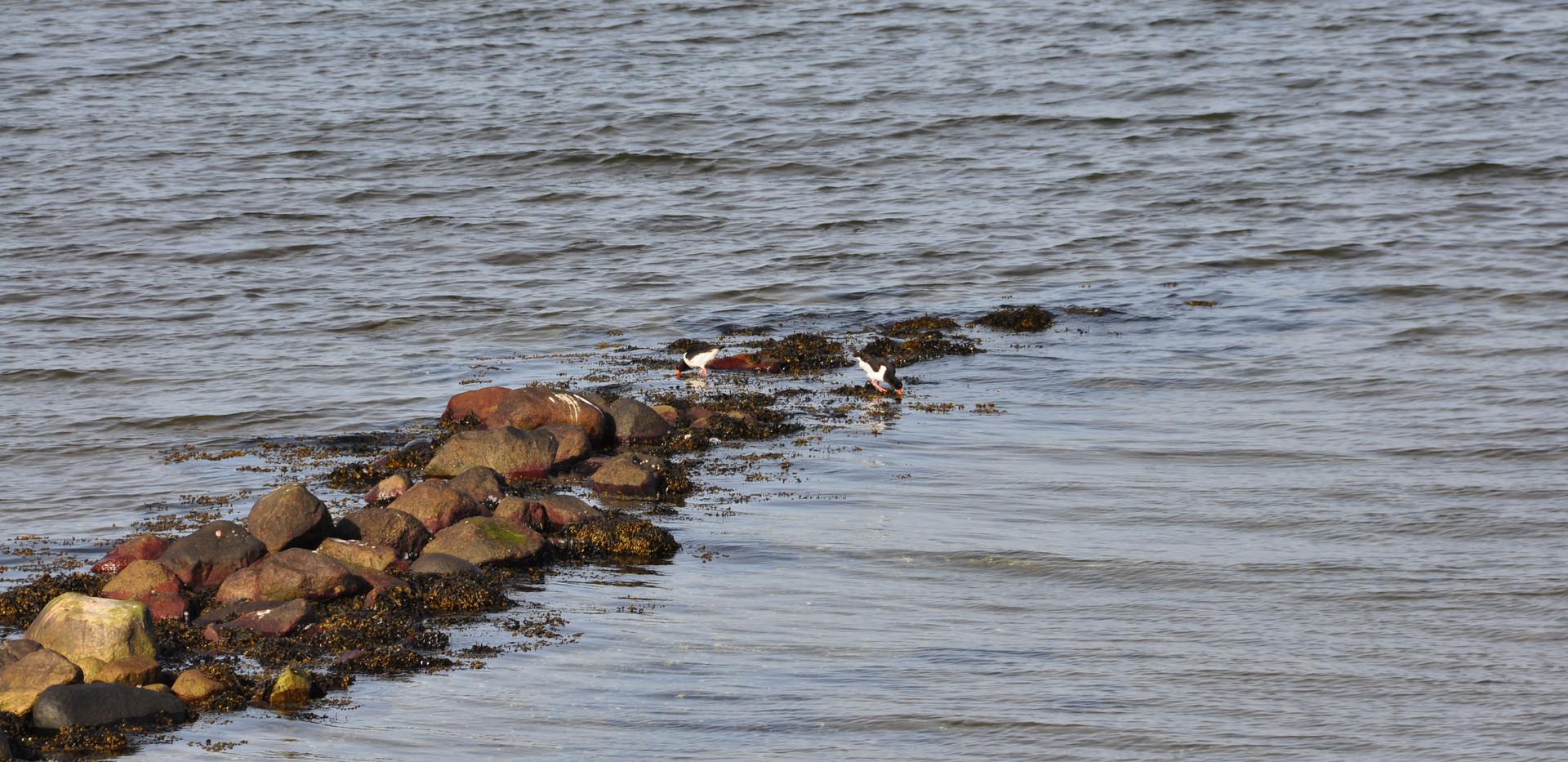 Austernfischer-Paar in der Bucht von Meierwik