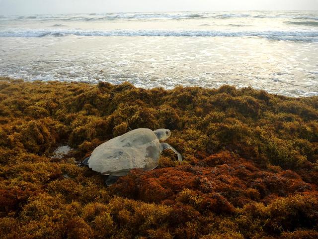 Turtle in the Sargassum seaweed