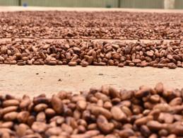 Cacao ¿Qué está pasando con los precios?