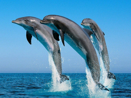 Мировое затишье позволит лучше изучить язык дельфинов.