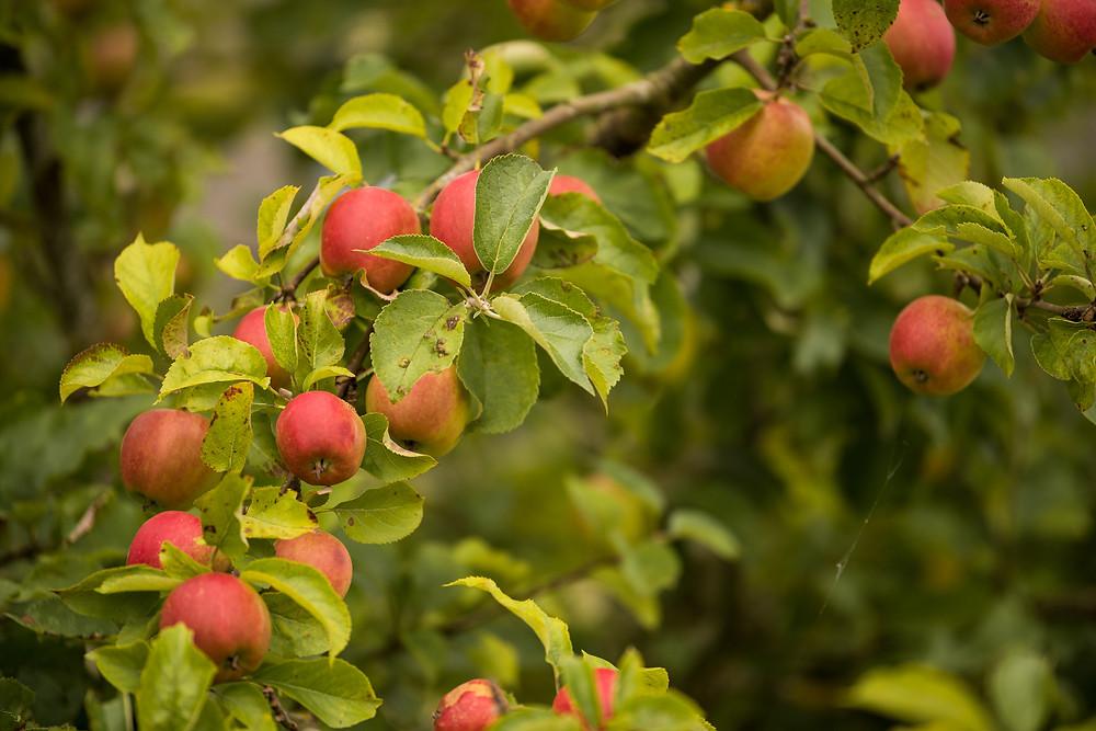 Best-aberdeen-family-children-photographer-montrose-arbroath-autumn-apples-foraging-scotland