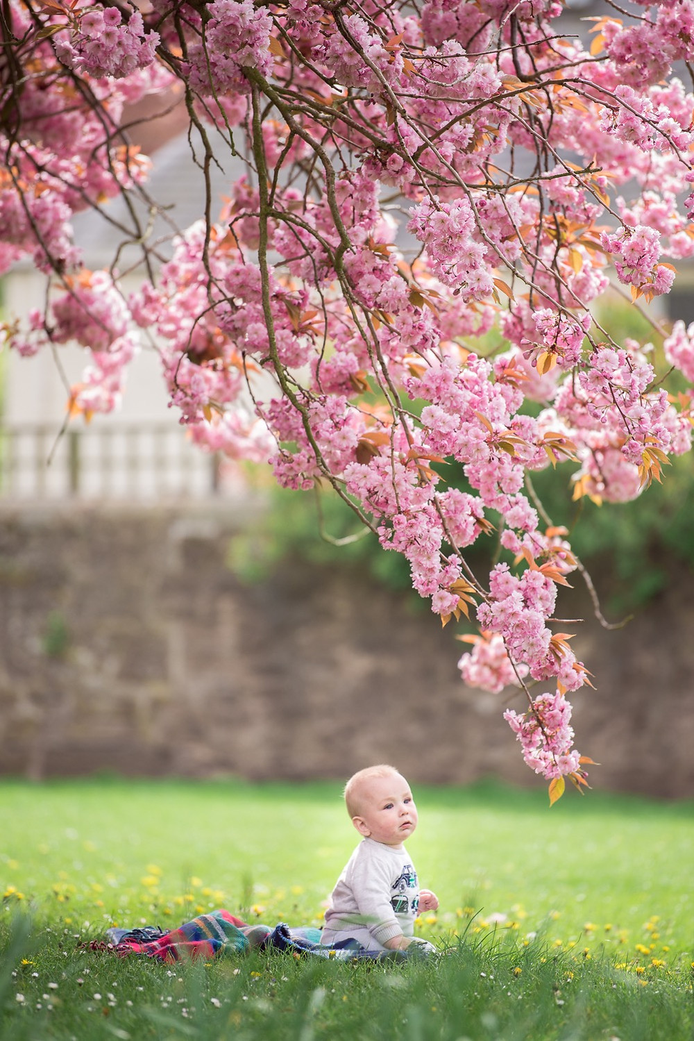 dundee-family-photography-boy-under-cherryblossom-tree-dawson-park