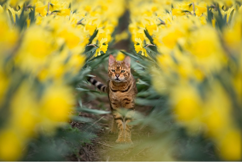 best-aberdeen-family-children-photographer-montrose-bengal-cat-in-daffodils