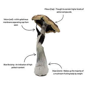 magic mushroom anatomy