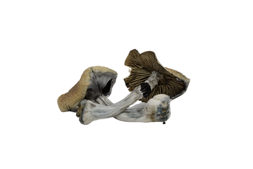 Puerto Rico Magic Mushrooms