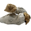 Penis Envy psilocybin cubensis mushroom