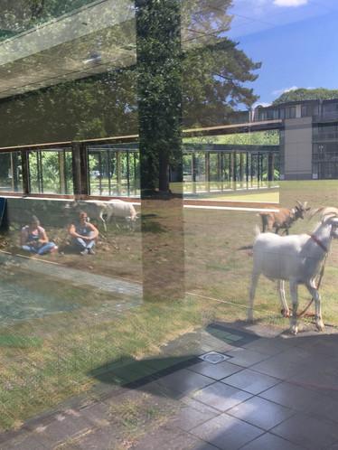 pauze met de geiten