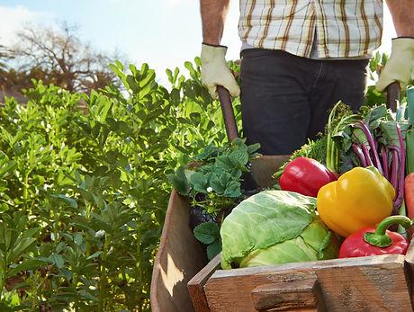 Farmer harvesting organic vegetables on