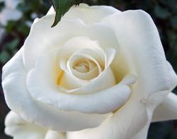 rose-1733134_640