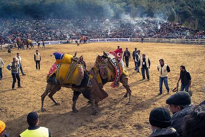 turkey-camel-wrestling.jpg
