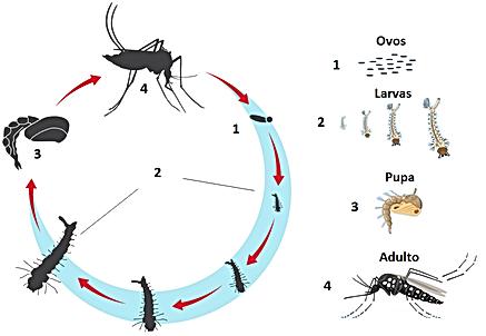 Ciclo de Vida do Mosquito.png