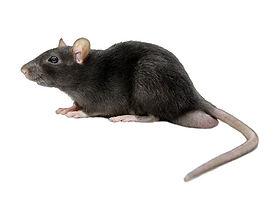 Rato Preto.jpg